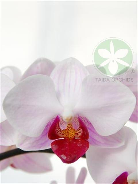 展壯台大蘭園,【A05638】Phal. Little Gem Stripes