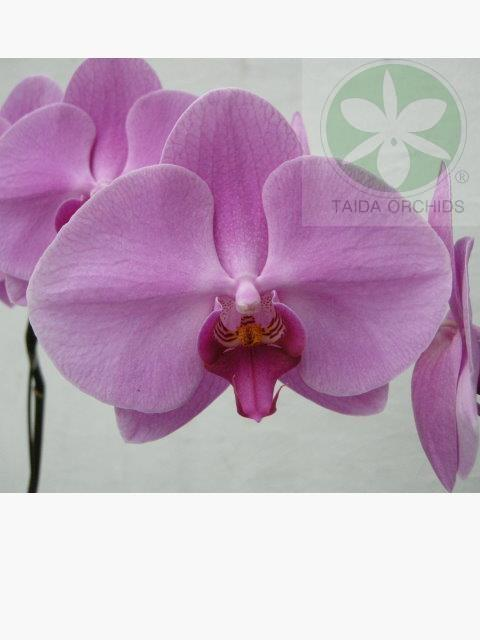 展壯台大蘭園,【A07524】Phal. Taida Pretty Woman