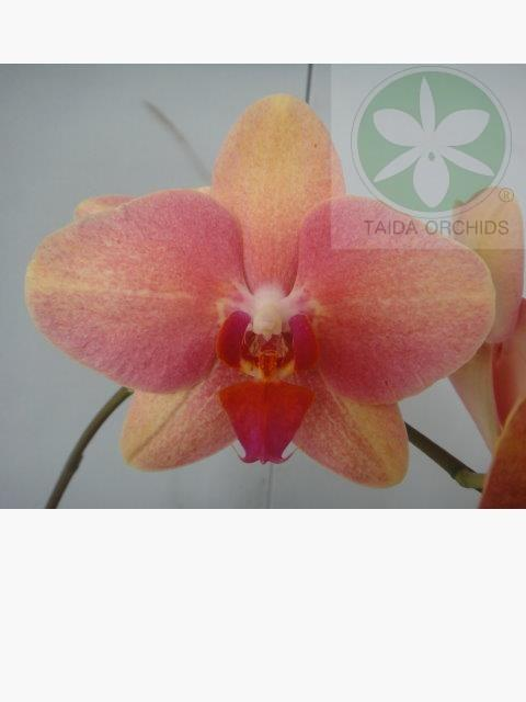 展壯台大蘭園,【A07706】Phal.(Taipei Gold-Reuy Lih Beauty)
